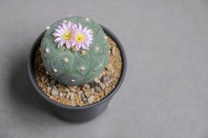 Lophophora fricii cactus flower
