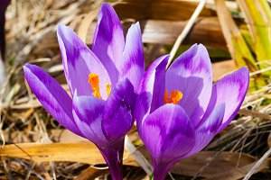 Spring crocus flowers in mountains