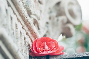 Antique column and pink rose