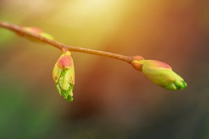 Spring branch with  first leaves