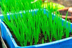 Green onion,  organic products