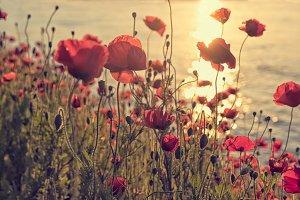 Poppy flowers at sunset