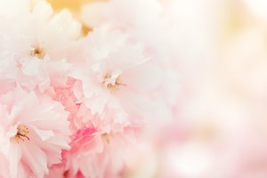 Tender pastel pink flower background