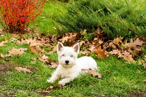 Dog west highland white terrier. White dog in the park.