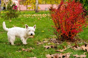 A white terrier walks through the park. A homely white terrier.