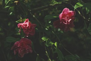 Shaded Camellias