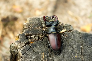 Endangered species of insect. An endangered species of a beetle. View from above.
