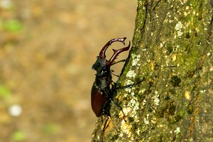 Lucanus cervus is climbing the tree. Side view. Vertical shot.