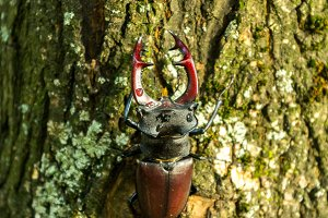 A beetle is on a tree. Beetle with horns on the trunk of a tree.