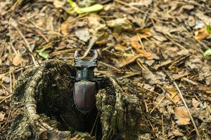 Lucanus cervus comes out of a hollow.