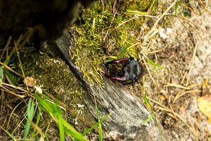 Big beetle with horns. Insect in nature.