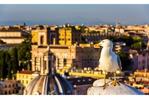 Closeup of a seagull with Rome city centre as background