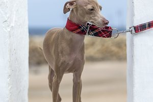Italian Greyhound on the beach
