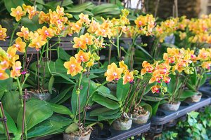 Row of potted orchids in store