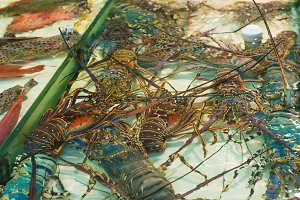 Colorful lobsters in water for sale