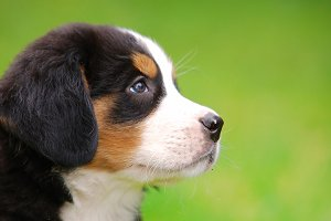 Puppy of Bernese mountain dog