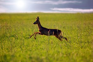 Beautiful roe-deer running