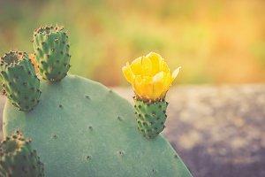 Yellow opuntia flower