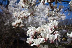 Magnolias blossom against the blue sky