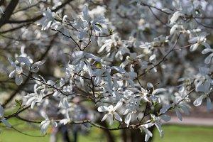 White Magnolias blossom
