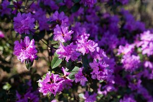 Purple azalea flower blossoms or rhododendron tree all over the field, background