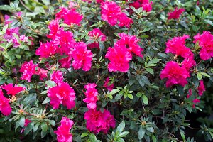 Pink azalea flower blossoms or rhododendron tree all over the field, background