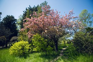 beautiful blooming pink cherry blossoms in the Japanese garden