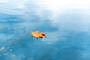 Dry red maple leaf on water