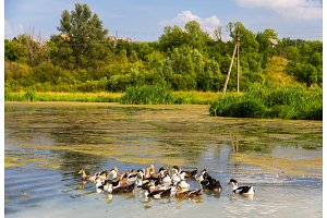 Ducks on a bog lake - Russia, Kursk region