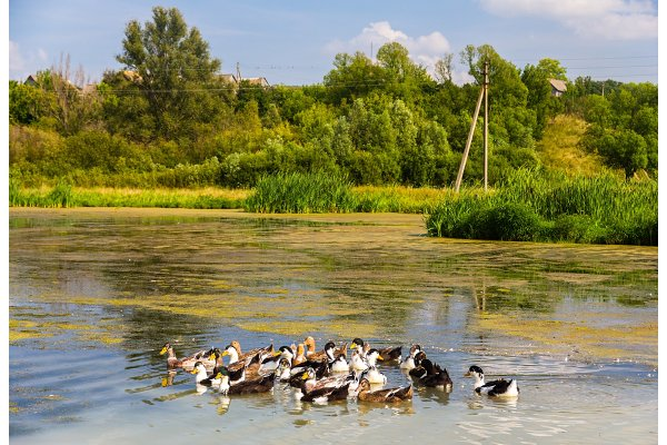 Ducks on a bog lake - Russia, Kursk…