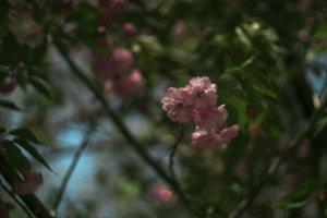 the pink flower tree