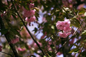 The pink flower tree 1