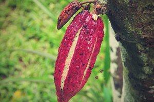 The Obroma Cocoa