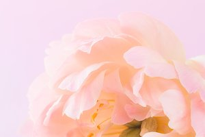 Peony flower closeup with copy space