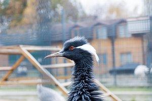 Portrait of Heron red eyes.