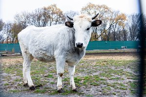 Ukrainian cattle. White cow.