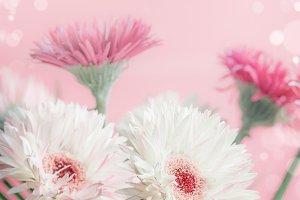 Pastel color daisy flowers