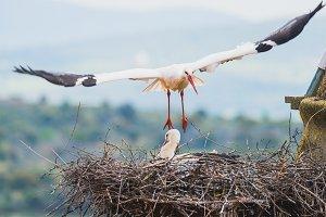 Stork landing in the nest
