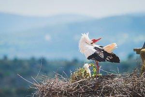Stork performing courtship dance