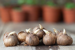 Spring flower bulbs for planting.