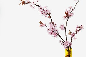 Cherry blossom flowers in vase on white background