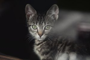 Cutte green eyed tabby kitten staring through the window