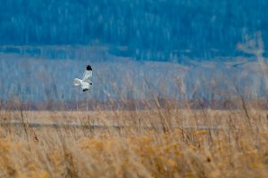 The bird of prey flying in the steppe