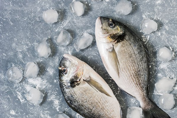 Raw fish with ice on a gray backgro…