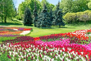 Field of tulips in park