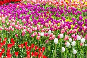 Field of tulips in park