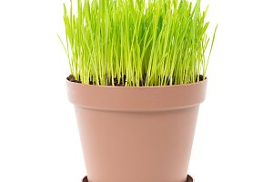 Green grass in the plant pot
