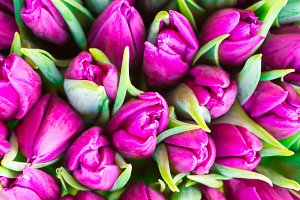Violet tulips with green leaves