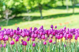 Many lilac tulips in the green park