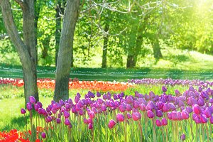 Lilac tulips in the green park